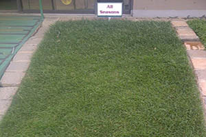 Evergreen turf lawn