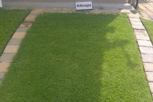 kikuyu instant lawn