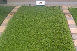 LM Berea Grass lawn